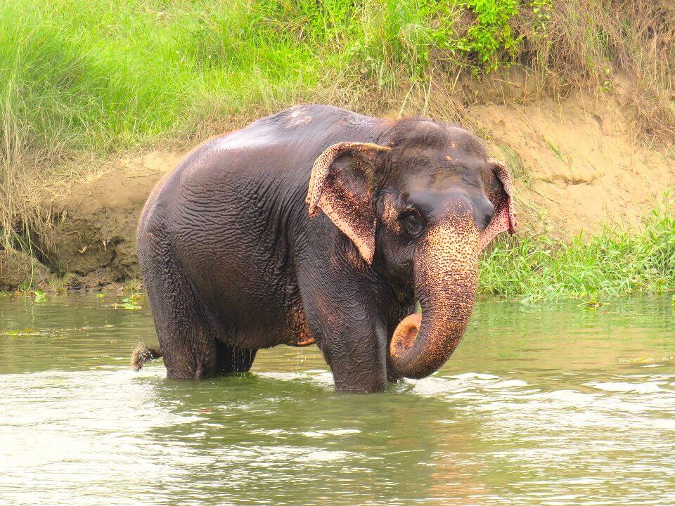 Chitwan – spelende olifant in de rivier bij de lodge