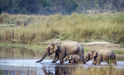 Wild elephants during a safari in Nepal - Bardia National park