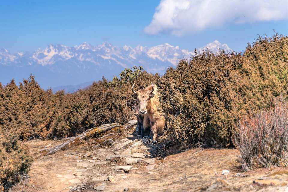Pikey Peak trekking – baby and mother yak during the trekking