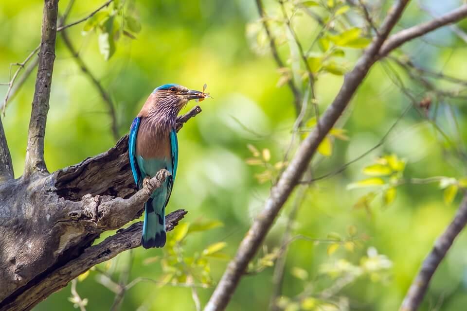 Safari in het Zuiden van Nepal – een Kingfisher met zijn prooi in Bardia National Park (6)