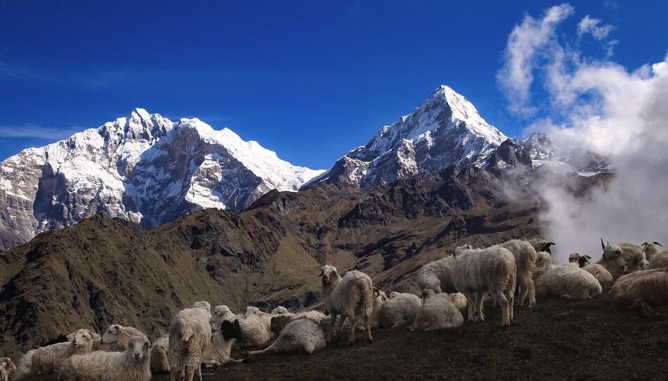 Khopra Ridge trek – een kudde dieren voor de Annapurna I en de Annapurna South
